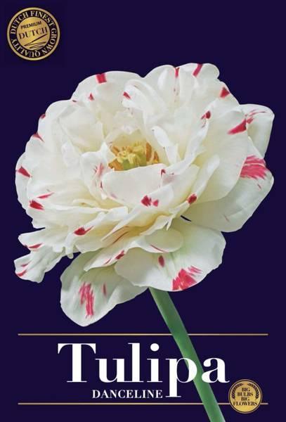 Bilde av Tulipa Danceline, Antall løk 5