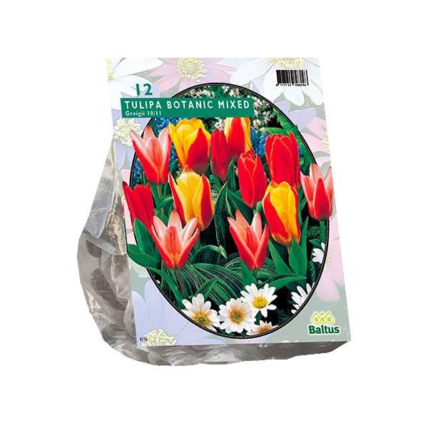 Bilde av Tulipa Greigii Mix, Løk størrelse: 10/11. Antall