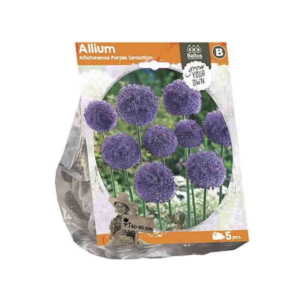 Bilde av Allium Aflatunense Purple Sensation