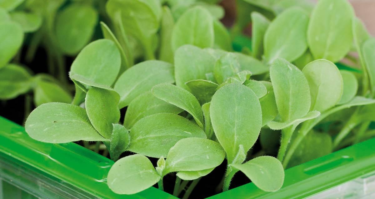 Micro Leaf Agurkurt