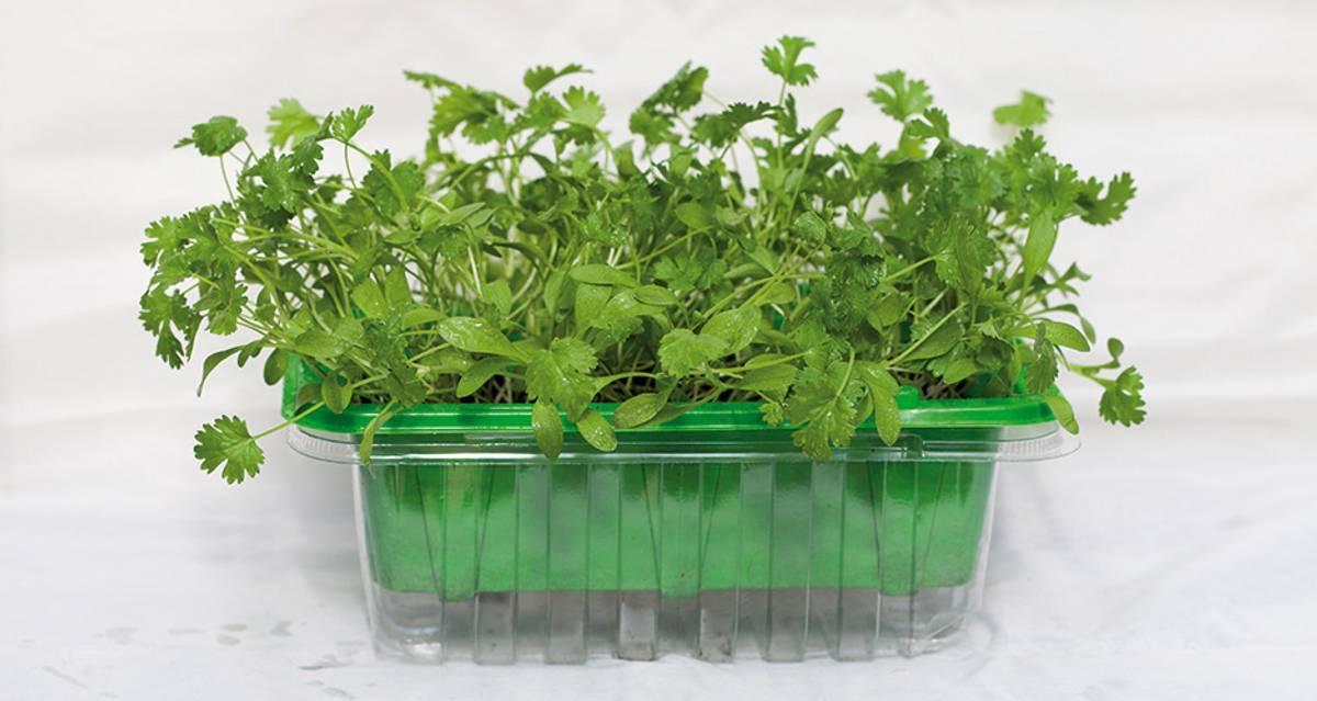 Micro Leaf Koriander