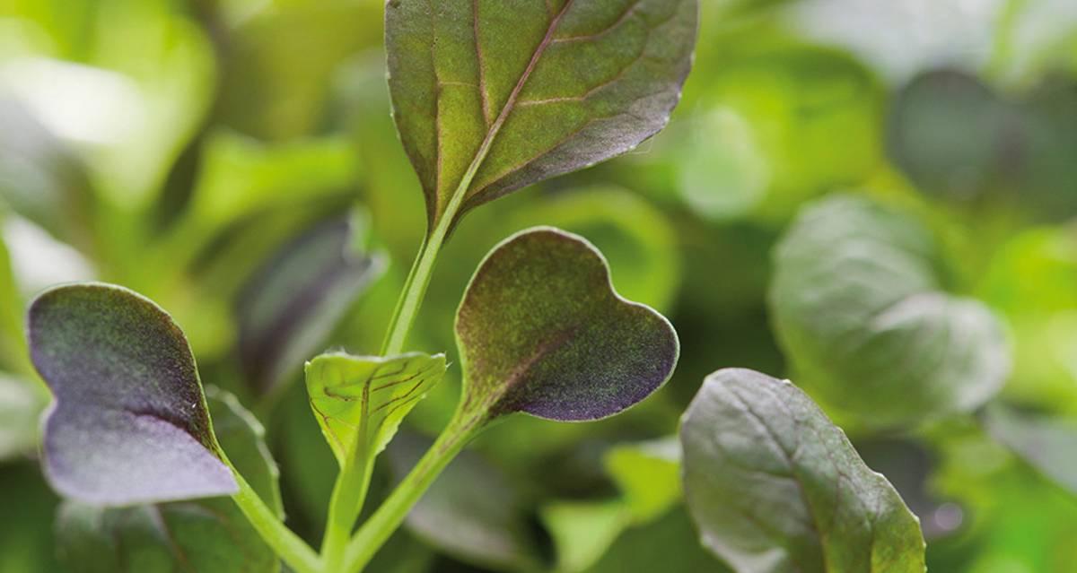 Micro Leaf Kål Pak Choi