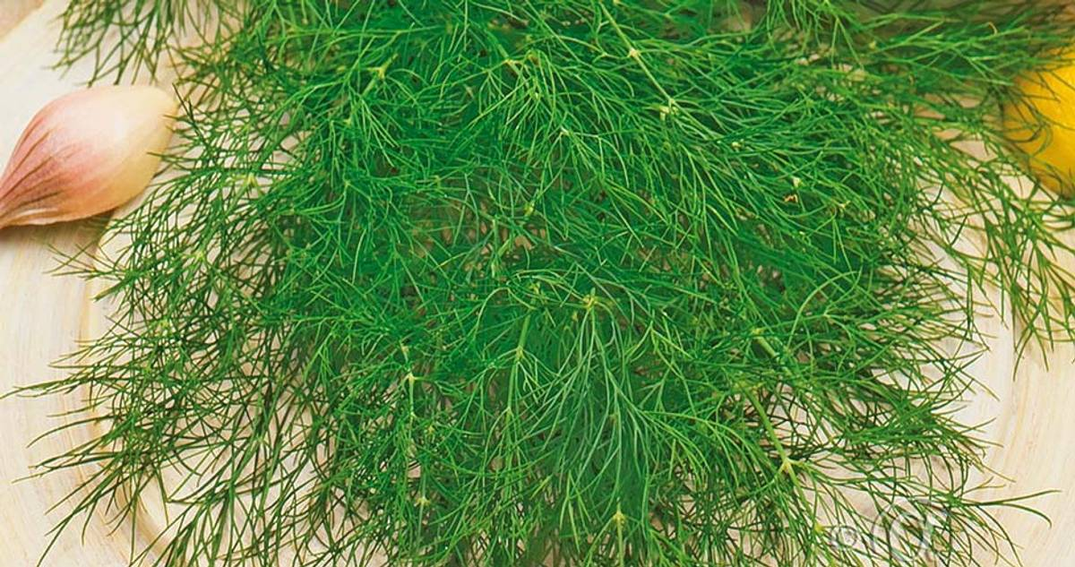 Dill, Blad- 'Bouquet