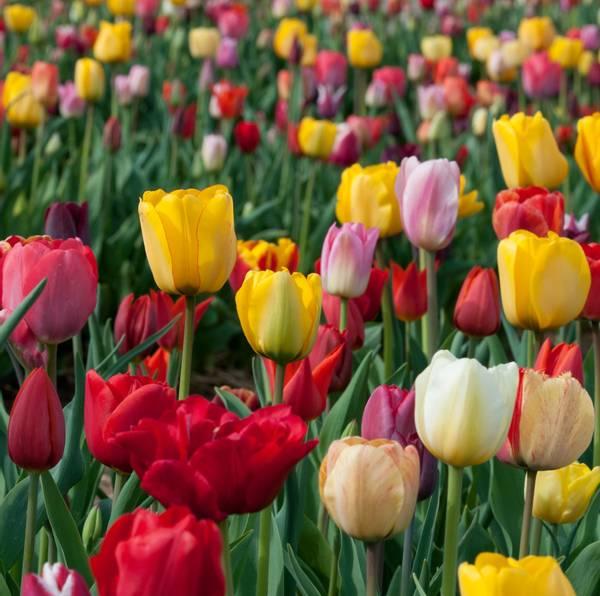 Bilde av Tulipa   Triumph.  Blomsterløk tulipan.