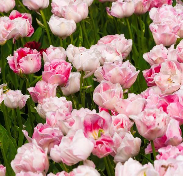 Bilde av Tulipa Dubbel Laat Upstar.  Blomsterløk tulipan