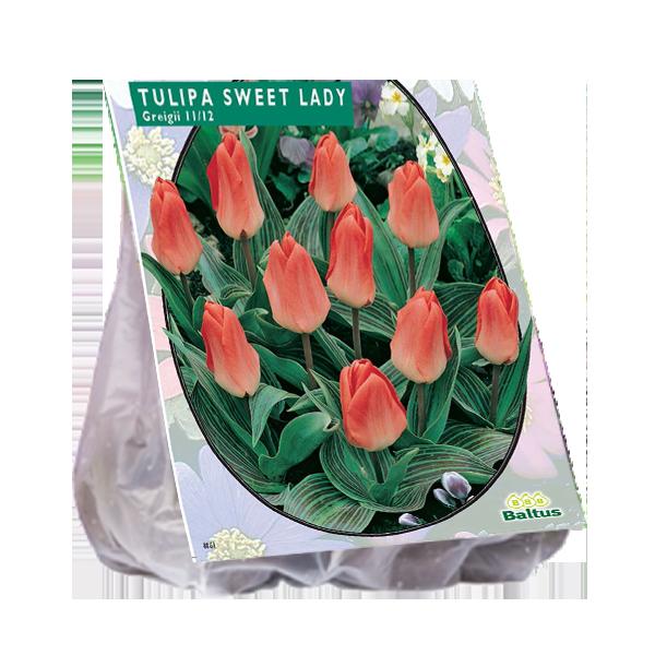 Bilde av Tulipan  Sweet Lady, Antall løk 20