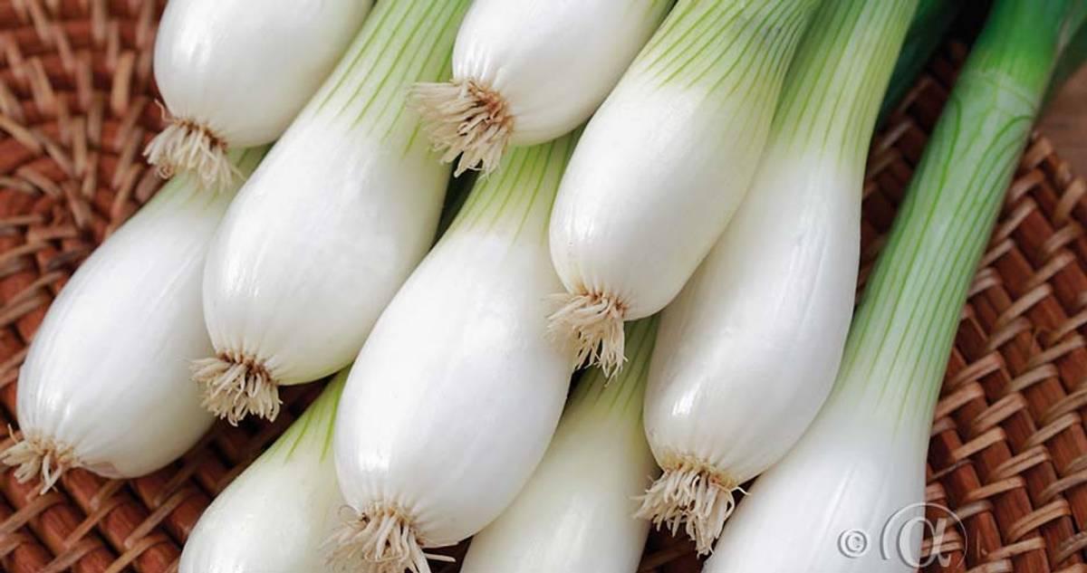 Løk, Salat- 'White Lisbon'