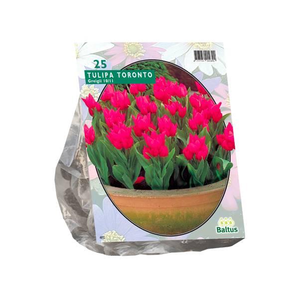 Bilde av Tulipa Toronto, Greigii.Løk størrelse: 10/11.
