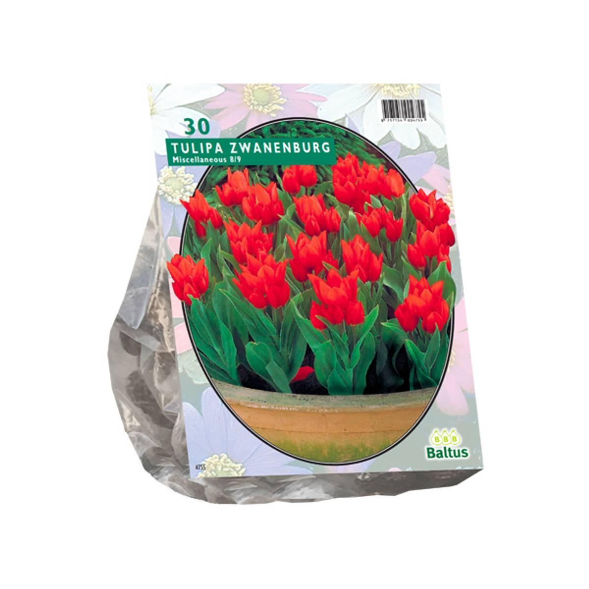 Tulipa Praestans Zwanenburg. Løk størrelse: 8/9. Antall løk 30.