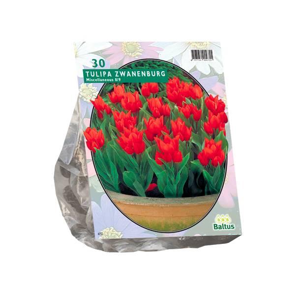 Bilde av Tulipa Praestans Zwanenburg. Løk størrelse: 8/9.