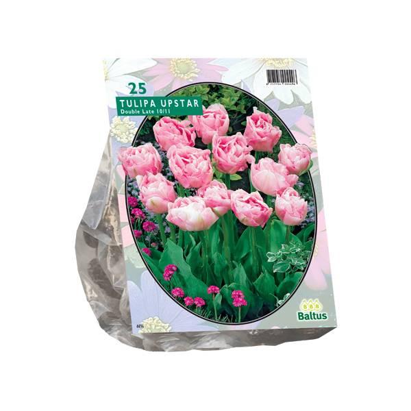 Bilde av Tulipa Dubbel Laat Upstar.  Løk størrelse: 10/11.