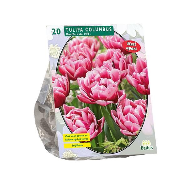 Bilde av Tulipa Columbus, Antall løk 20