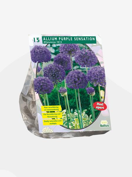 Bilde av Allium Aflatunense Purple Sensation. Løk