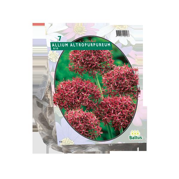 Bilde av Allium Atropurpureum. Løk størrelse: 8/10 .