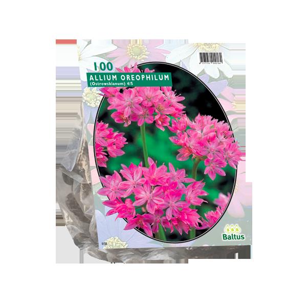 Bilde av Allium Oreophilum. Løk størrelse: 4/5. Antall løk