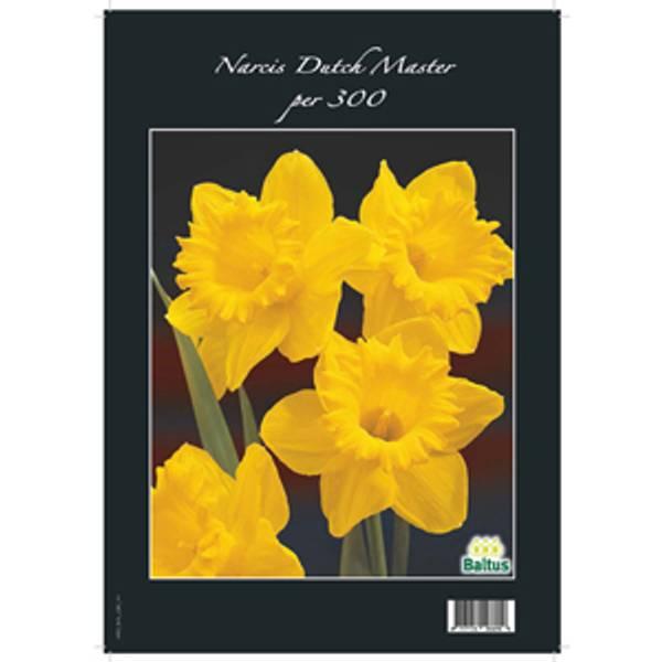 Bilde av Narcis Dutch 'Master'. 300 stk blomsterløk av