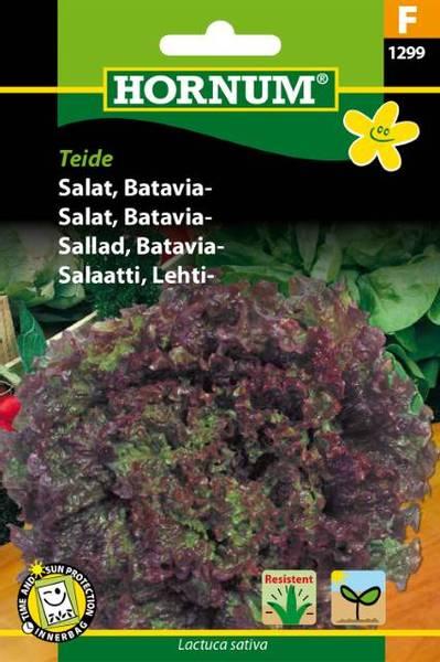 Bilde av Salat, Batavia-Teide(Lat: Lactuca sativa)