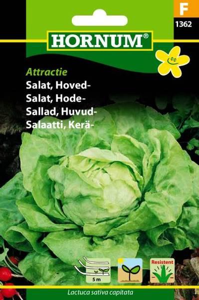 Bilde av Salat, Hode-Attractie(Lat: Lactuca sativa