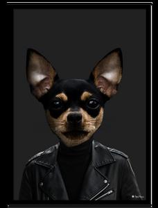 Bilde av Tito The Chihuahua