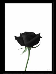 Bilde av Black Rose