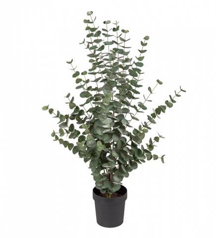 Bilde av Eucalyptus  110